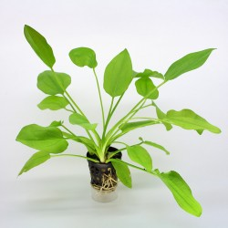 Echinodorus Macrophyllus