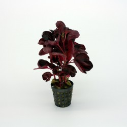 Iresine species Red