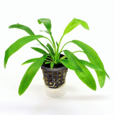 Echinodorus Green Horemani